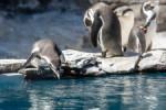 Pingwiny w Slaskim Ogrodzie Zoologicznym.